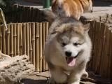 Собаки, щенята Аляска маламут, ціна 12000 Грн., Фото