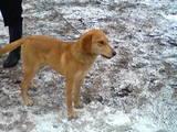 Собаки, щенята Латвійський гончак, ціна 100 Грн., Фото