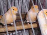 Попугаи и птицы Канарейки, цена 500 Грн., Фото