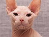 Кішки, кошенята Донський сфінкс, ціна 2500 Грн., Фото