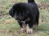 Собаки, щенки Тибетский мастиф, цена 30000 Грн., Фото