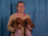 Собаки, щенки Гладкошерстная такса, цена 1800 Грн., Фото