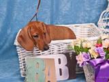 Собаки, щенята Гладкошерста такса, ціна 1800 Грн., Фото