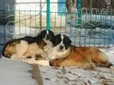 Собаки, щенки Московская сторожевая, цена 2500 Грн., Фото