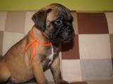 Собаки, щенки Бульмастиф, цена 7000 Грн., Фото