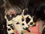 Собаки, щенята Російський спаніель, ціна 2000 Грн., Фото