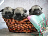 Собаки, щенята Вольфшпіц, ціна 6500 Грн., Фото
