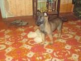 Собаки, щенки Бельгийская овчарка (Малинуа), цена 1500 Грн., Фото