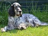 Собаки, щенки Английский сеттер, цена 4000 Грн., Фото