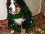 Собаки, щенки Большой Швейцарский зенненхунд, цена 4500 Грн., Фото