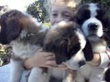 Собаки, щенята Сенбернар, ціна 4200 Грн., Фото
