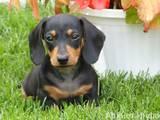 Собаки, щенки Жесткошерстная кроличья такса, цена 400 Грн., Фото