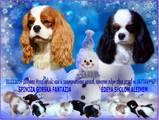 Собаки, щенята Кавалер-кинг-чарльз спаніель, ціна 16000 Грн., Фото