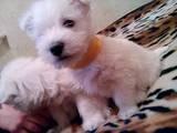Собаки, щенки Вестхайленд уайт терьер, цена 3200 Грн., Фото