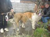 Собаки, щенки Московская сторожевая, цена 2200 Грн., Фото