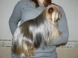 Собаки, щенки Спаривание, цена 600 Грн., Фото