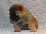 Собаки, щенки Чау-чау, цена 5000 Грн., Фото