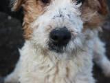 Собаки, щенки Жесткошерстный фокстерьер, цена 2500 Грн., Фото