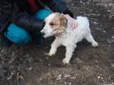 Собаки, щенята Жорсткошерстий фокстер'єр, ціна 2500 Грн., Фото