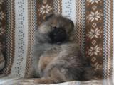 Собаки, щенята Карликовий шпіц, ціна 10000 Грн., Фото