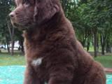 Собаки, щенята Ньюфаундленд, ціна 5000 Грн., Фото