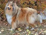 Собаки, щенята Довгошерстий коллі, ціна 3000 Грн., Фото