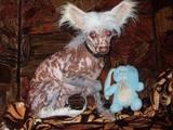 Собаки, щенки Китайская хохлатая собака, цена 1000 Грн., Фото