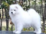 Собаки, щенята Самоїдом, ціна 12000 Грн., Фото