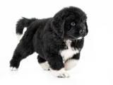 Собаки, щенята Ньюфаундленд, ціна 14000 Грн., Фото