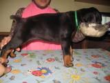 Собаки, щенята Доберман, ціна 4500 Грн., Фото