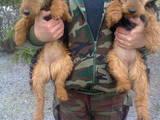 Собаки, щенки Вельштерьер, цена 1000 Грн., Фото
