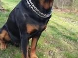 Собаки, щенята Ротвейлер, Фото