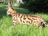 Кошки, котята Бенгальская, цена 9000 Грн., Фото
