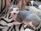Кошки, котята Девон-рекс, цена 1700 Грн., Фото