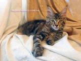 Кошки, котята Мэйн-кун, цена 14000 Грн., Фото