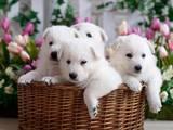 Собаки, щенята Біла Швейцарська вівчарка, ціна 3500 Грн., Фото