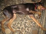 Собаки, щенята Доберман, ціна 2500 Грн., Фото