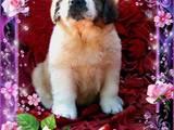 Собаки, щенята Московська сторожова, ціна 4500 Грн., Фото