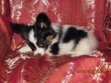 Собаки, щенки Папильон, цена 3500 Грн., Фото