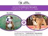 Собаки, щенки Английский бульдог, цена 10000 Грн., Фото