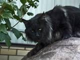 Кішки, кошенята Мейн-кун, Фото