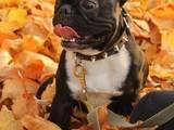 Собаки, щенки Французский бульдог, цена 300 Грн., Фото