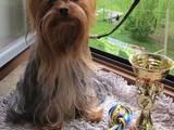 Собаки, щенята Йоркширський тер'єр, ціна 300 Грн., Фото