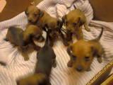 Собаки, щенята Гладкошерста такса, ціна 490 Грн., Фото