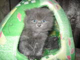 Кішки, кошенята Британська довгошерста, ціна 500 Грн., Фото