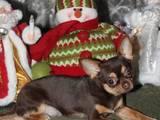 Собаки, щенята Спаровування, ціна 500 Грн., Фото
