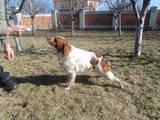 Собаки, щенята Різне, ціна 12000 Грн., Фото