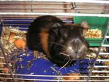 Гризуни Морські свинки, ціна 50 Грн., Фото