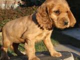 Собаки, щенки Английский коккер, цена 400 Грн., Фото