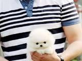 Собаки, щенки Карликовый шпиц, цена 150000 Грн., Фото